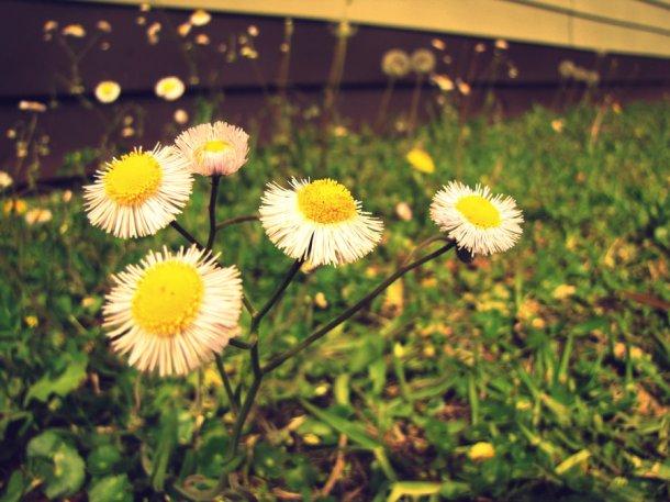 flower weeds